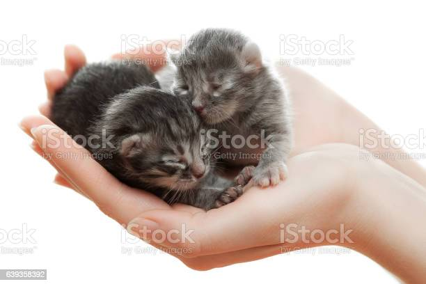 Newborn gray kittens in hands picture id639358392?b=1&k=6&m=639358392&s=612x612&h=n40823w5vd1w6ilshtxdsrdjlvqvh xdjl8auh5gnpo=
