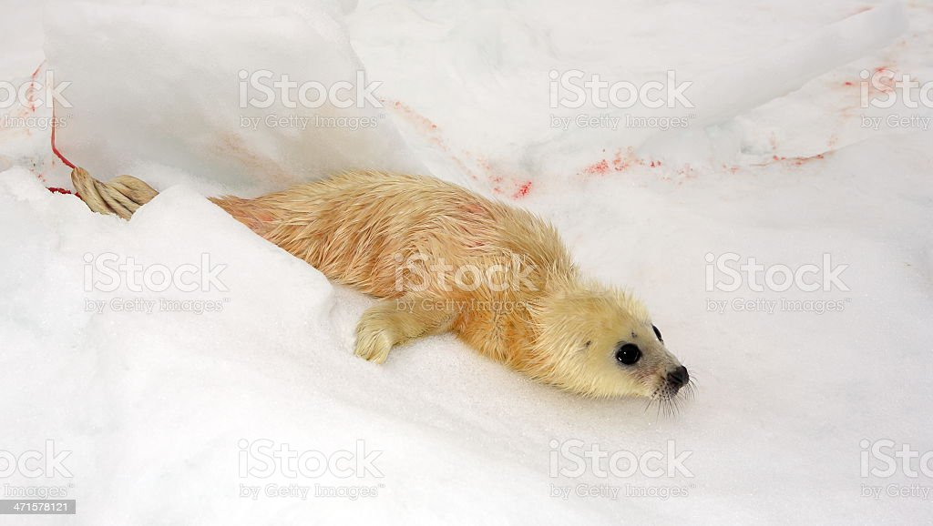 Newborn harp seal pup stock photo