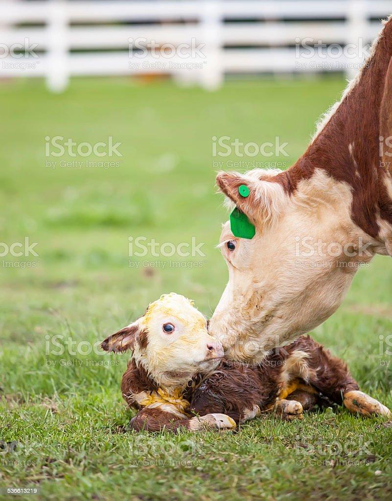 Newborn Hereford Calf stock photo