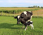 Newborn Holstein heifer calf nuzzles up to cow on sunnny day with corn field in the background