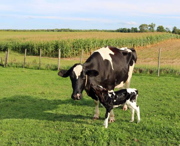 Newborn Holstein calf nuzzles up to mom Newborn Holstein heifer calf nuzzles up to cow on sunnny day with corn field in the background calf stock pictures, royalty-free photos & images