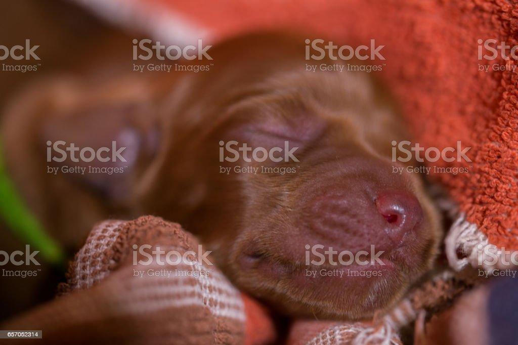 Newborn Irish Setter puppy portrait stock photo