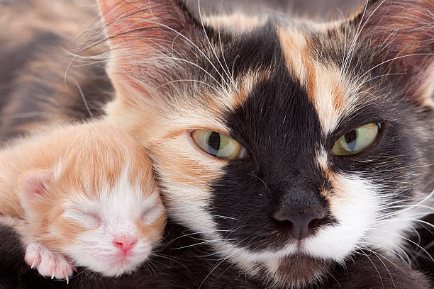 Newborn Kitten with mother: angry cat eyes! Newborn sweet kitten newborn animal stock pictures, royalty-free photos & images