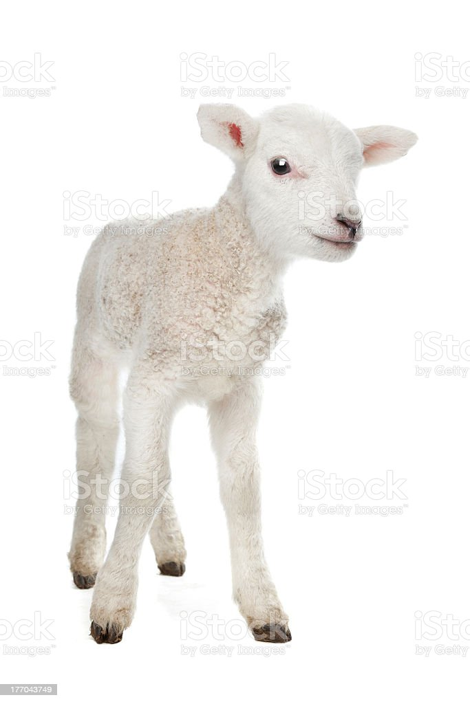 A newborn lamb against a white background stock photo
