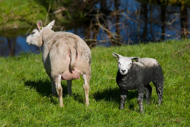 Neugeborenes Lamm und Mutter Schafe – Foto