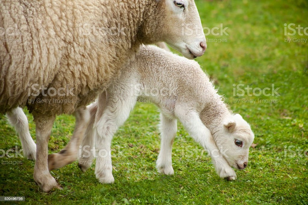Newborn lamb and sheep on green meadow, close up. stock photo