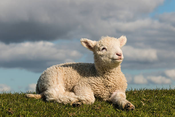 2 228 Sheep Lying Down Stock Photos Pictures Royalty Free Images Istock