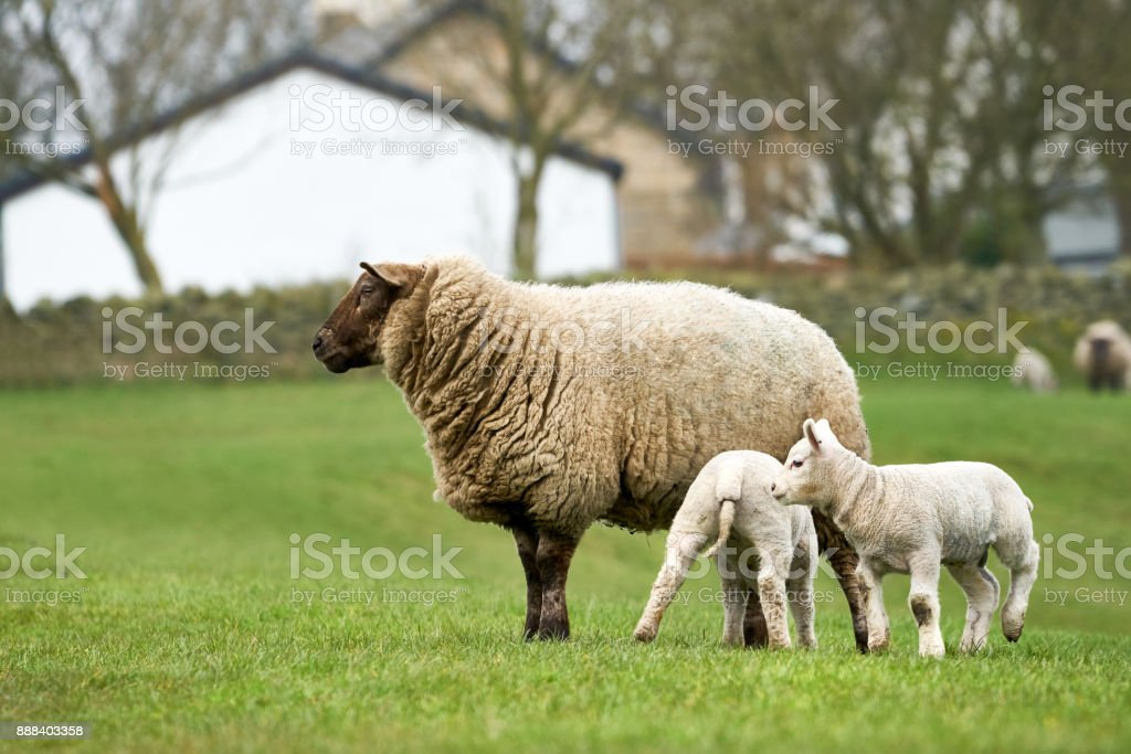Newborn lamb. stock photo