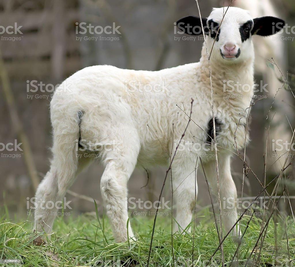 newborn lamb royalty-free stock photo