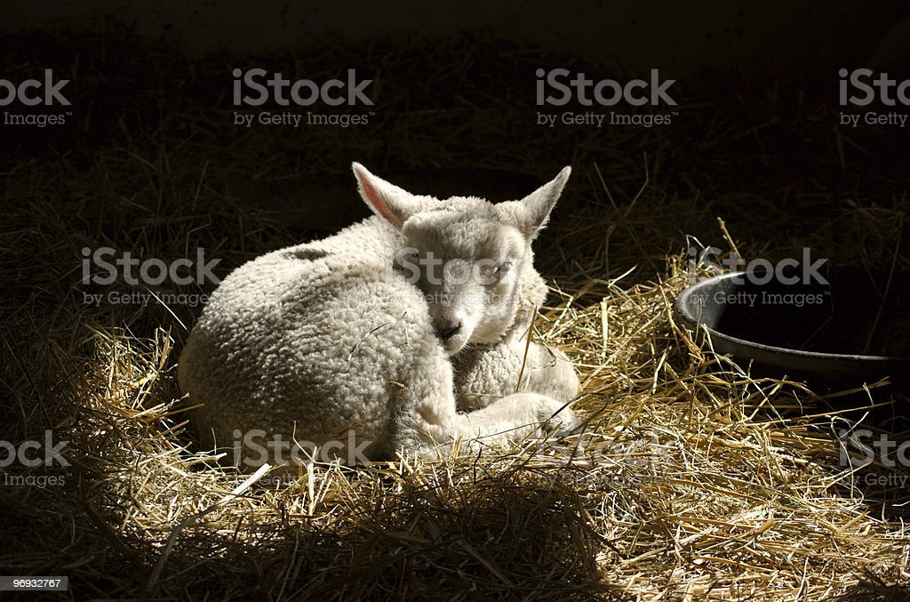 Newborn Lamb royalty-free stock photo
