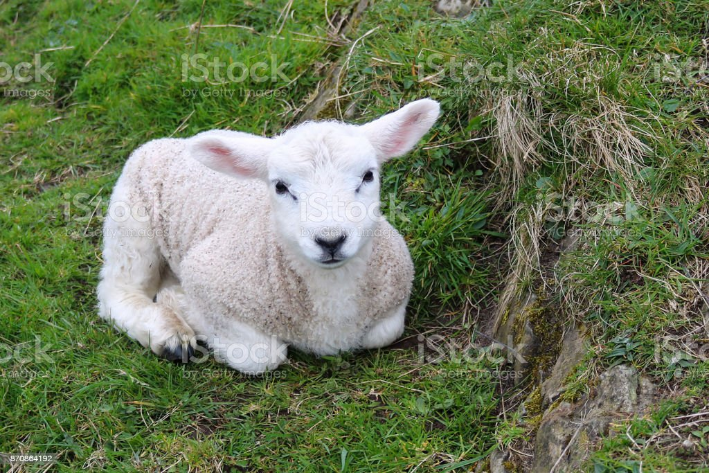 Newborn Lamb Rests in Grass stock photo