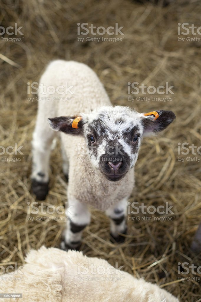 newborn lamb standing on straw bed royalty-free stock photo