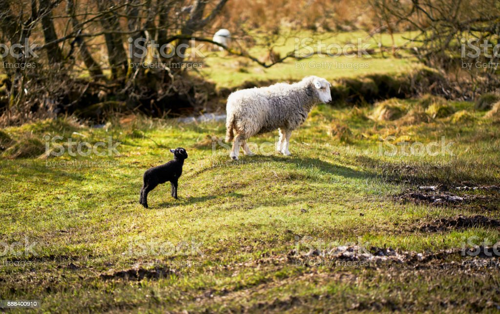 A newborn lamb with a new mother on farmland  on a sunny day in the Lake District, England, UK. stock photo