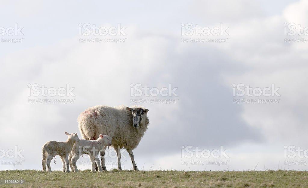 Newborn lambs royalty-free stock photo