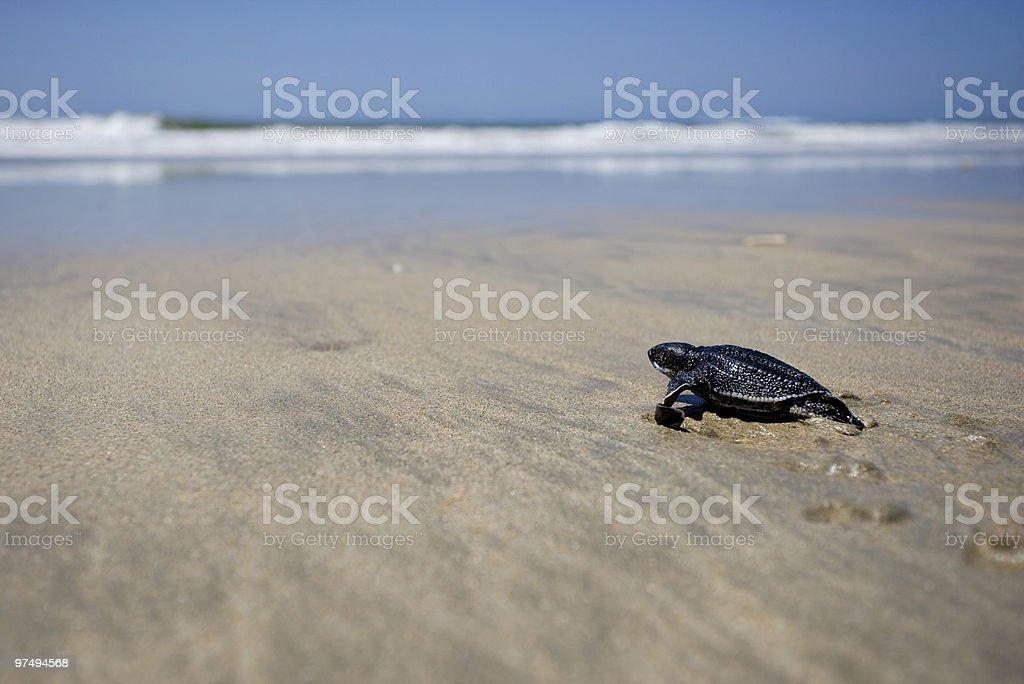 Newborn Leatherback Turtle stock photo