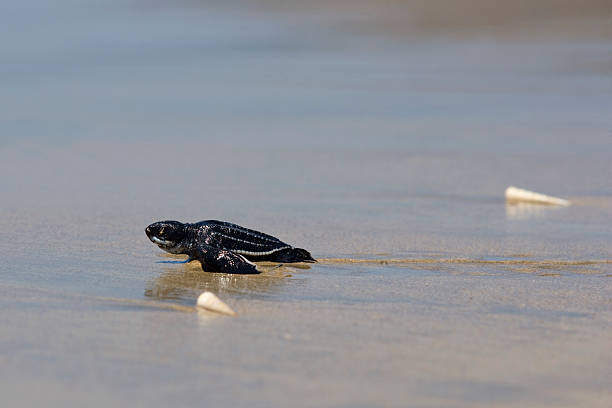 newborn leatherback turtle - leatherback stockfoto's en -beelden