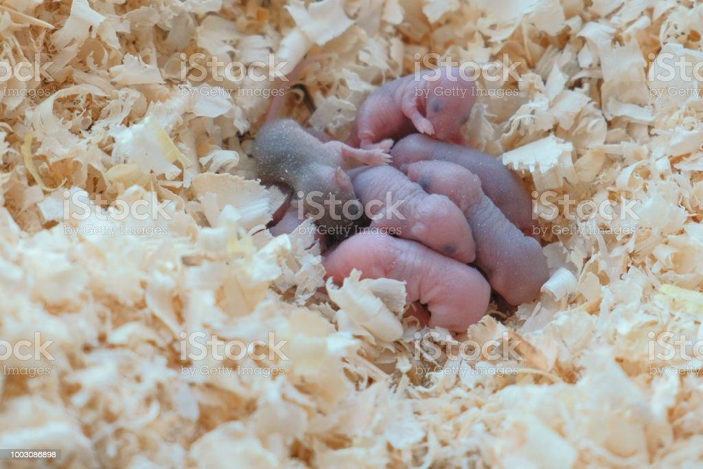 Newborn little mice are blind in the nest. Newborn little mice are blind in the nest Animal Stock Photo