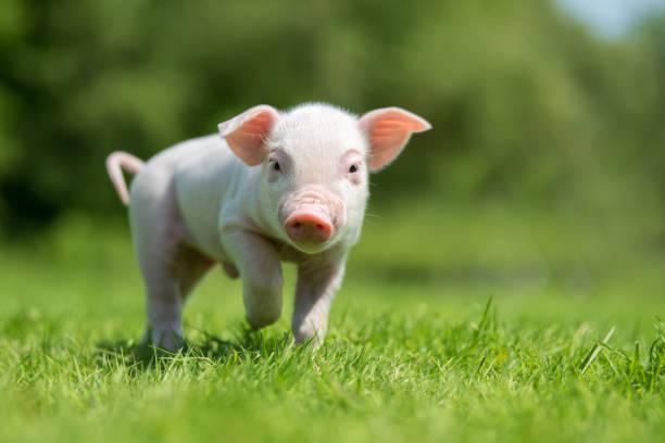 Newborn piglet on spring green grass on a farm picture id956025942?b=1&k=6&m=956025942&s=612x612&w=0&h=fmik41x10euew4h9hee9qqgwws2evys2w gpcuxarca=