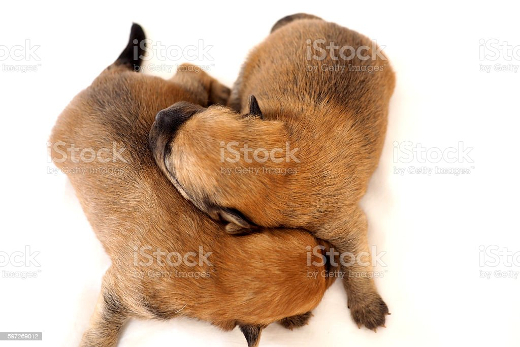 Newborn puppies on white royalty-free stock photo