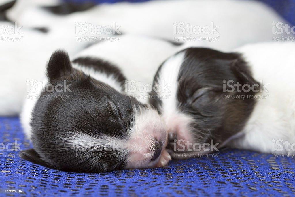 Newborn puppies Papillon stock photo