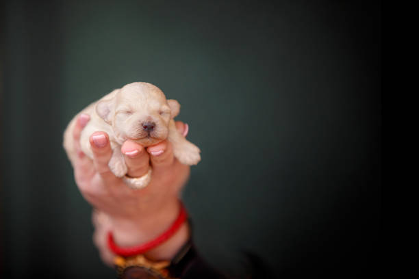 newborn puppy in hand closeup - allevatore foto e immagini stock