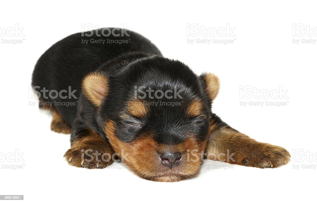 Newborn puppy royalty-free stock photo