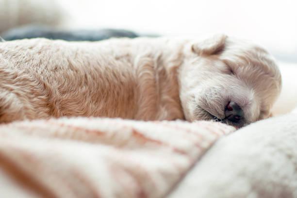 Newborn puppy sweetly asleep picture id898375408?b=1&k=6&m=898375408&s=612x612&w=0&h=7dyavfk utzr796te6m o2ngyl9cajxii7z o o8yu8=