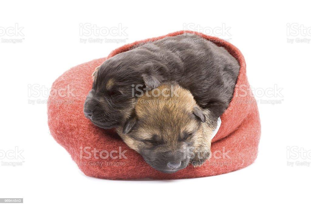 newborn puppys royalty-free stock photo