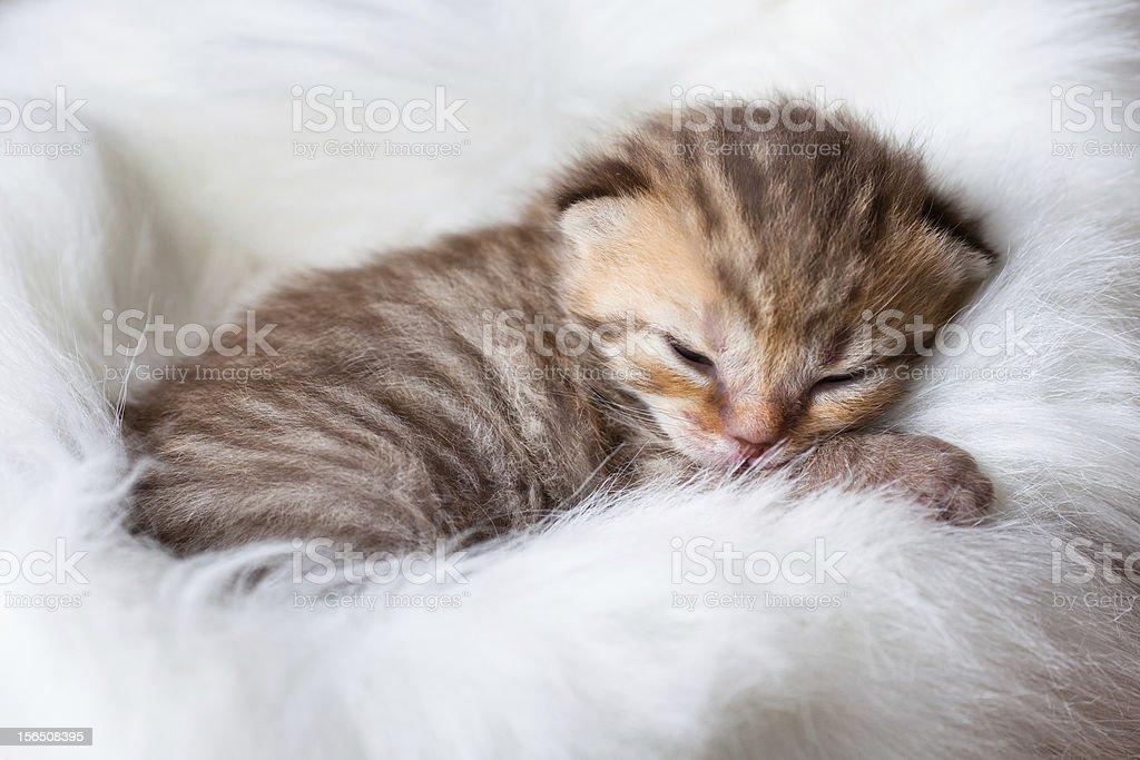 Newborn sleeping british baby cat royalty-free stock photo