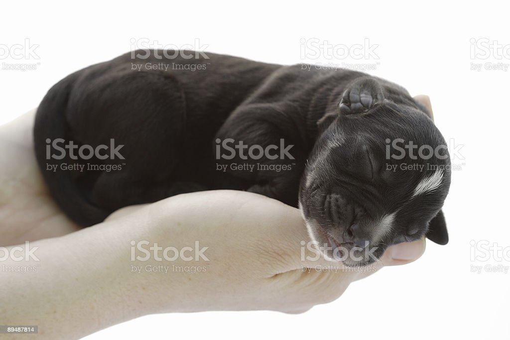 newborn sleeping pup close-up royalty-free stock photo