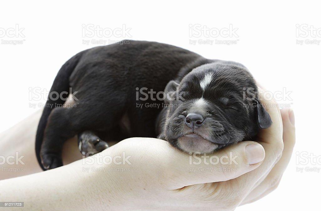 newborn sleeping puppy royalty-free stock photo