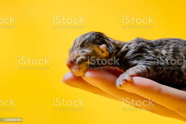 Newborn small kitten sleeping on hand of crop woman picture id1223359754?b=1&k=6&m=1223359754&s=612x612&h=qve4t517k mt4w4dhepdqcwtljcxqtaqtygajfcwmfw=