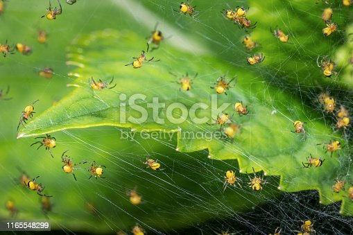 Lots of newborn spiders weaving their first web after hatching from their eggs. Macro shot