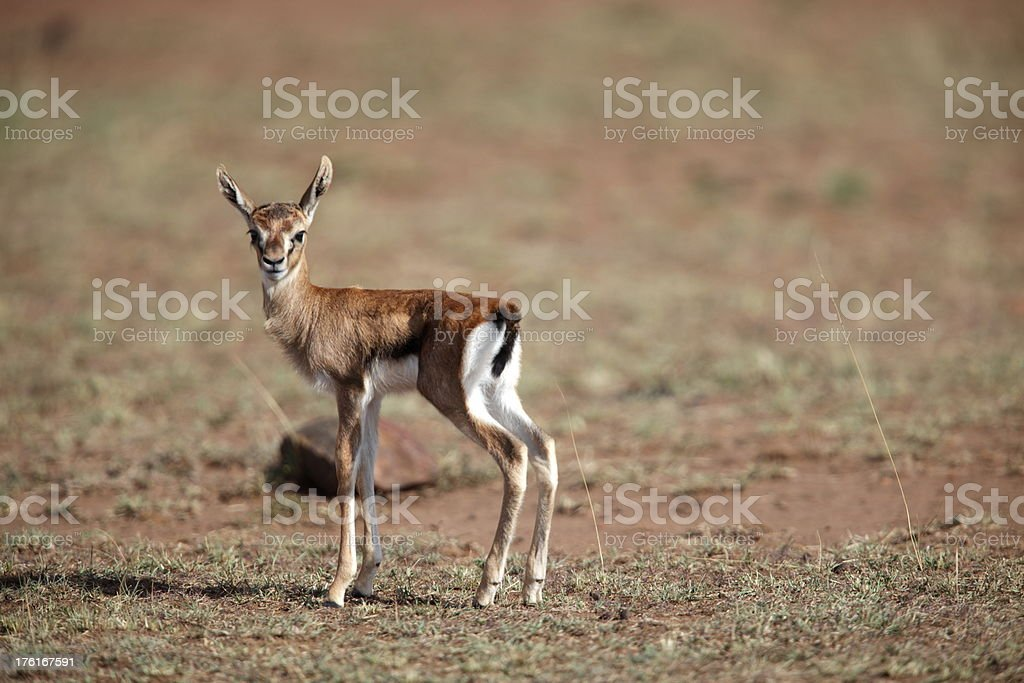 Newborn Tomson Gazelle stock photo