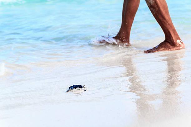 Newborn turtle is entering the sea accompanied by person picture id539205962?b=1&k=6&m=539205962&s=612x612&w=0&h=rcxo k4edusprvo1n8xceze5mftzs52rmrxltwpx6e4=