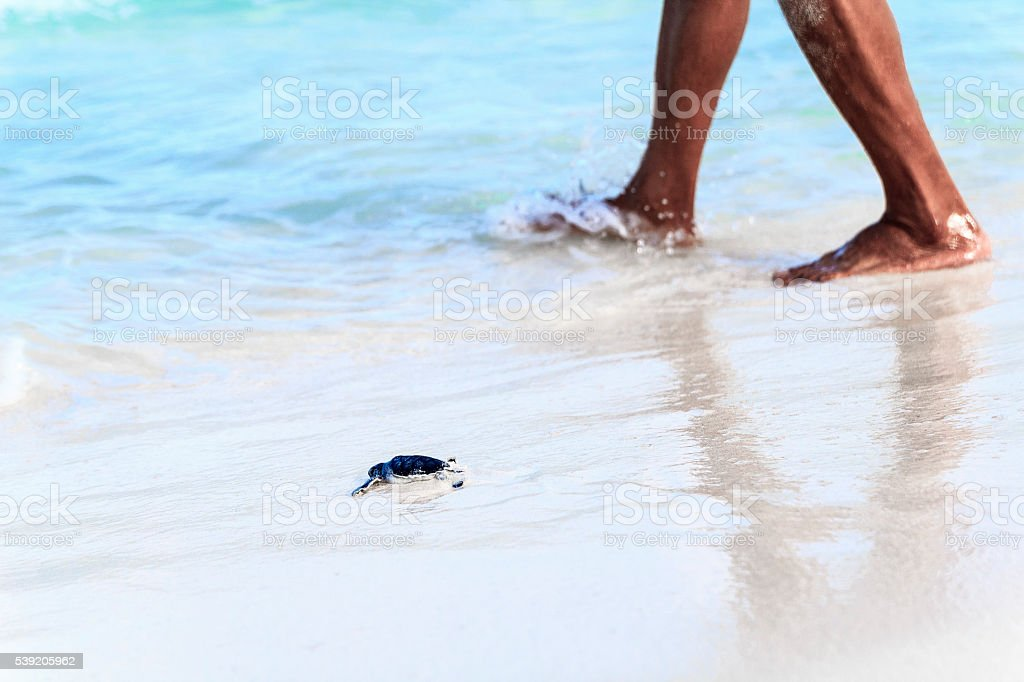 Newborn Turtle is Entering the Sea Accompanied by Person stock photo
