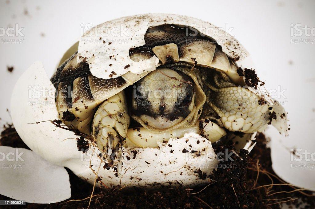 newborn turtle royalty-free stock photo