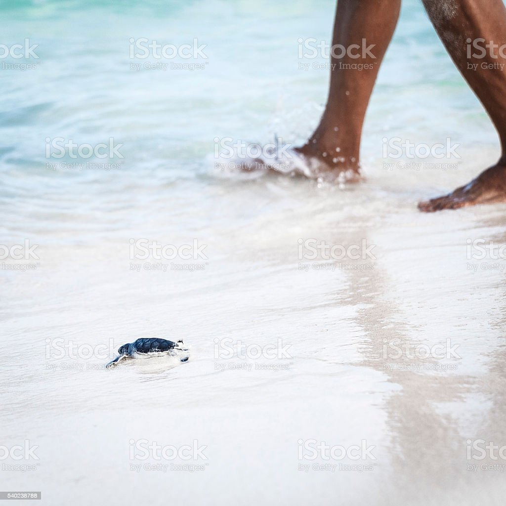 Newborn Turtles is Entering the Sea Accompanied by Person stock photo