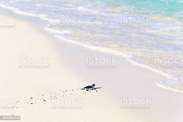 Newborn turtles is entering the sea picture id534052413?b=1&k=6&m=534052413&s=612x612&h=w15fjc0v4enhtjlkxan4p7f36capmp hio5sakzgvpq=