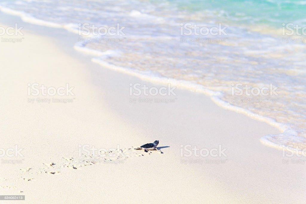 Newborn Turtles is Entering the Sea stock photo