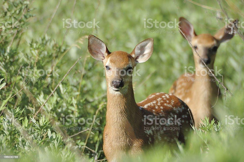 Newborn Whitetail Deer Fawn royalty-free stock photo