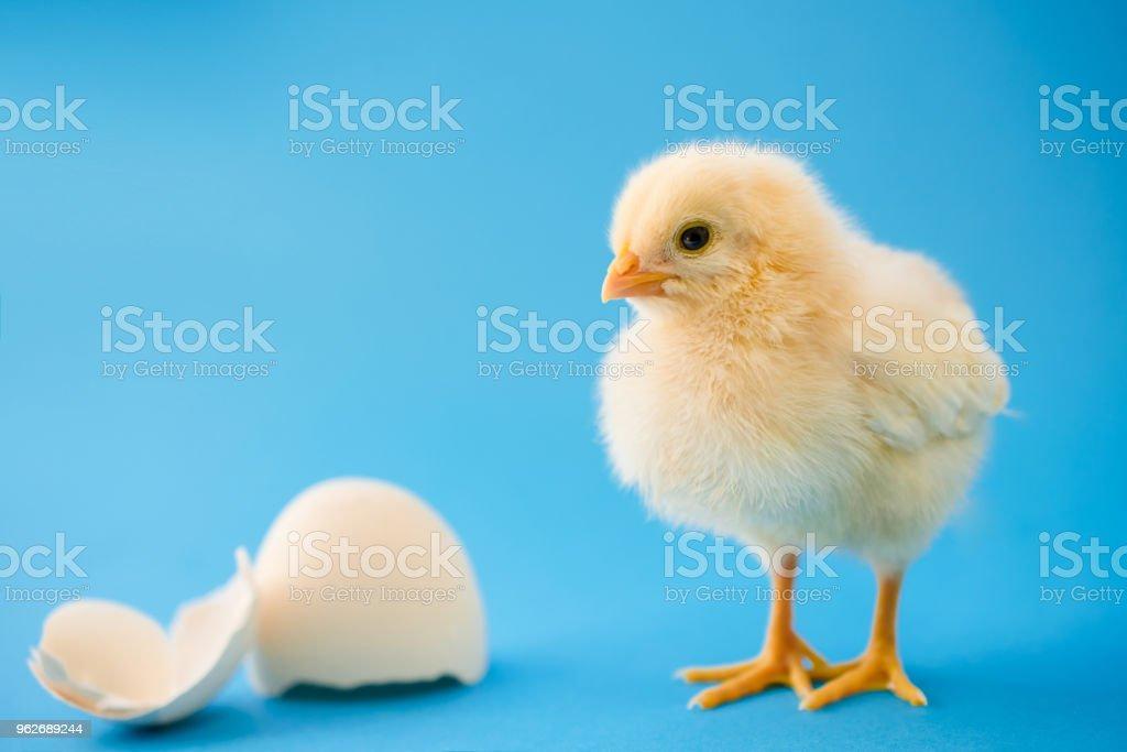 Newborn yellow chicken and broken eggs stock photo