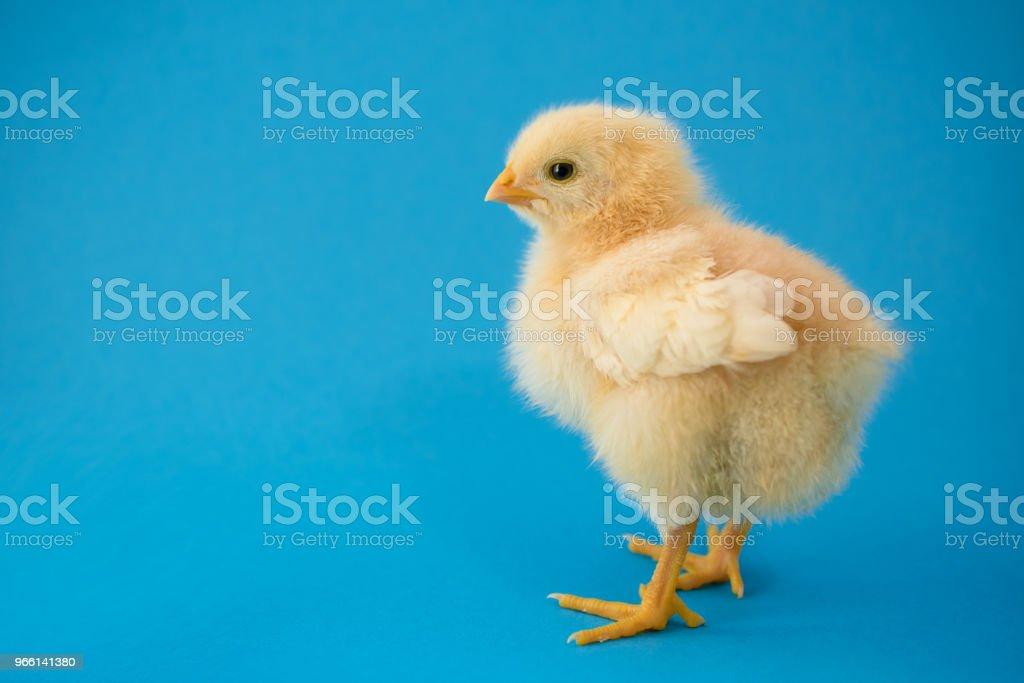 Nyfödd gula kyckling och Knäckta ägg - Royaltyfri Bildbakgrund Bildbanksbilder