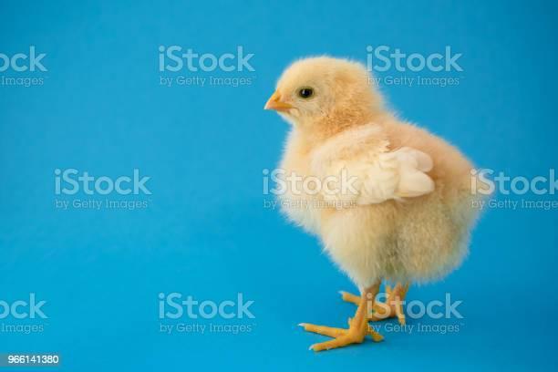 Nyfödd Gula Kyckling Och Knäckta Ägg-foton och fler bilder på Bildbakgrund