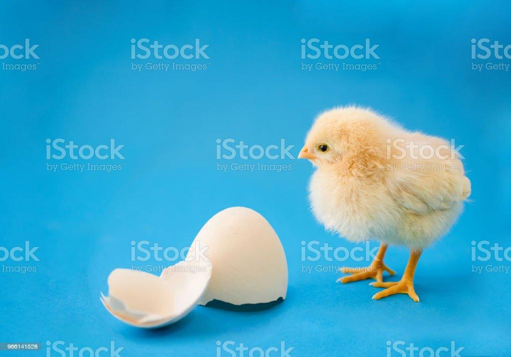 Newborn yellow chicken and broken eggs - Стоковые фото Без людей роялти-фри