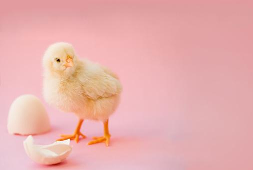 Pasgeboren Gele Kip En Gebroken Eieren Stockfoto en meer beelden van Achtergrond - Thema