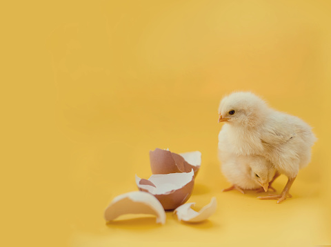 Newborn Yellow Chickens And Broken Eggs Stock Photo - Download Image Now