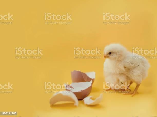 Nyfödd Gula Kycklingar Och Knäckta Ägg-foton och fler bilder på Bildbakgrund