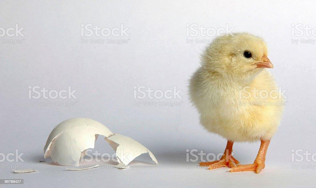 Newcomer baby chicken stock photo