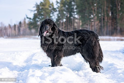 Newfoundland in snow